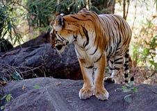 Dziki tygrys fotografia royalty free