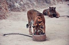 Dziki tygrys Zdjęcie Royalty Free