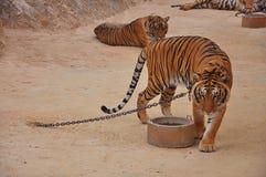 Dziki tygrys Fotografia Stock