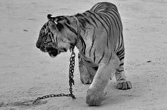 Dziki tygrys Zdjęcia Royalty Free