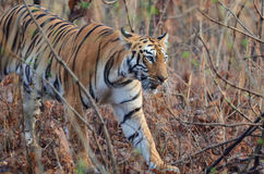 Dziki tygrysi odprowadzenie Zdjęcie Stock