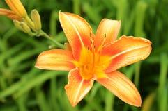 Dziki Tygrysiej lelui kwiat Zdjęcia Stock