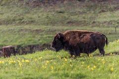 Dziki żubra bizon Obrazy Royalty Free