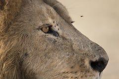 Dziki wędrować lwa Afrykański męski portret Obraz Royalty Free