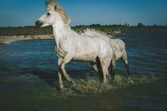Dziki Włosiany dnia koń Obrazy Stock