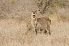 Dziki waterbuck, Kruger park narodowy, Południowa Afryka (Kobus ellipsiprymnus) Zdjęcia Stock