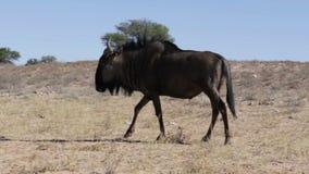 Dziki Wildebeest gnu pasanie zbiory