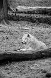 Dziki wilk Zdjęcia Royalty Free