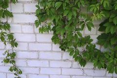 Dziki winogrono na ścianie Obrazy Stock