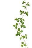 Dziki wspinaczkowy winograd, Cayratia trifolia (Linn ) Domino Odizolowywający dalej Obraz Stock