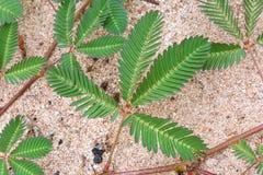 Dziki wyczulonej rośliny zbliżenie Obraz Royalty Free