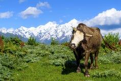 Dziki wysoki byk przeciw tłu nakrywać góry Fotografia Royalty Free