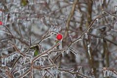 Dziki wzrastał w lodzie Fotografia Stock