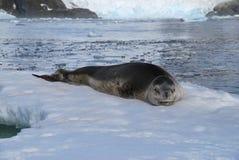 Dziki życie Antarctica Zdjęcia Royalty Free