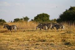Dziki zebry cwałowanie przez Afrykańskie równiny obrazy stock