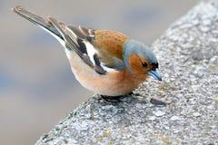 Dziki zięba ptak w mieście Obrazy Royalty Free