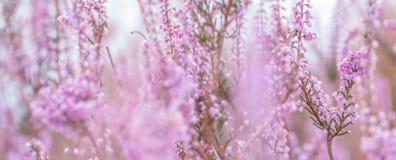 Dziki zim menchii kwiat zdjęcia royalty free