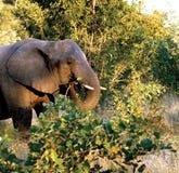 dziki zwierzę słoń Obrazy Royalty Free