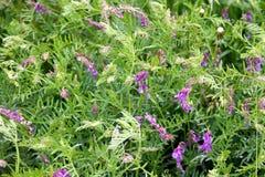 Dzikich grochów kwiaty Obraz Royalty Free