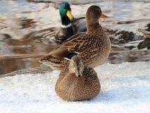 Dzikich kaczek mallards w zimie na zamarzniętej rzece fotografia stock