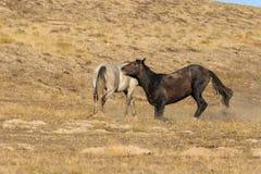 dzikich koni walczyć Zdjęcia Stock