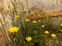 Dzikich kwiatów kamiennej ściany zbliżenie Obraz Stock