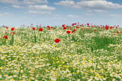 Dzikich kwiatów pola krajobraz Obraz Stock