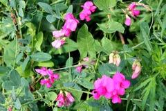 Dzikich menchii grochów kwiaty Fotografia Royalty Free