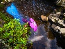 Dzikich menchii kwiat obrazy stock