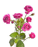 Dzikich menchii róża zdjęcia royalty free
