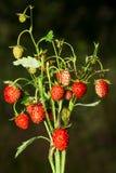 Dzikich truskawek roślina z czerwoną dojrzałą jagodą Fotografia Royalty Free