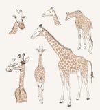 dzikich zwierząt żyrafy Obrazy Royalty Free