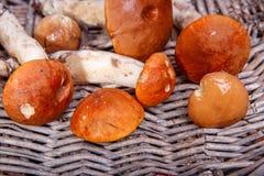 Dzikie świeże pieczarki na nieociosanym drewnianym stole Brzozy pomarańczowy Bolete Copyspace jesienią zbliżenie kolor tła ivy po Fotografia Stock