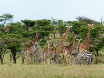 Dzikie żyrafy w sawannie Zdjęcia Royalty Free