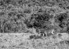 Dzikie żywe równiien zebry przy Addo słonia parkiem w Południowa Afryka Obraz Stock