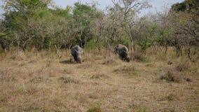 Dzikie Afrykańskie Białe nosorożec Pasają trawy W krzakach sawanna zbiory