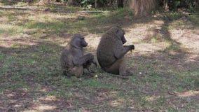 Dzikie Afrykańskie małpy Siedzą W cieniu drzewa I Jedzą zbiory wideo