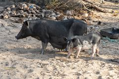 Dzikie czarne świnie w Goa obrazy stock