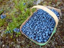 Dzikie czarne jagody Fotografia Stock