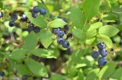 Dzikie czarne jagody Zdjęcie Stock