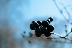 Dzikie czarne jagody na dekoracyjnym krzaku obraz stock