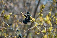 Dzikie czarne jagody na dekoracyjnym krzaku obrazy stock