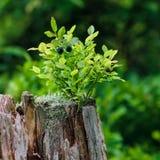 Dzikie czarne jagody na zielonym rostowym tle, zdjęcia stock