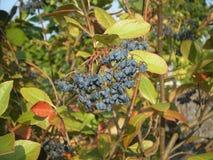 Dzikie czarne jagody, winogrona/ Obraz Stock