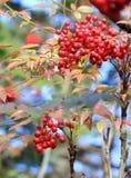 Dzikie Jagodowe owoc Zdjęcie Stock