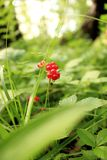 Dzikie czerwone jagody kamiennego bramble roślina przeciw tłu zamazana zielona trawa obrazy royalty free