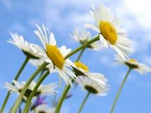 dzikie daisy obraz stock