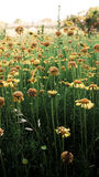 dzikie daisy Zdjęcie Royalty Free