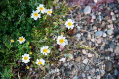 dzikie daisy Fotografia Stock