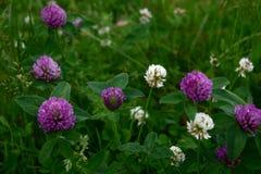 dzikie fioletowy kwiat Zdjęcie Stock